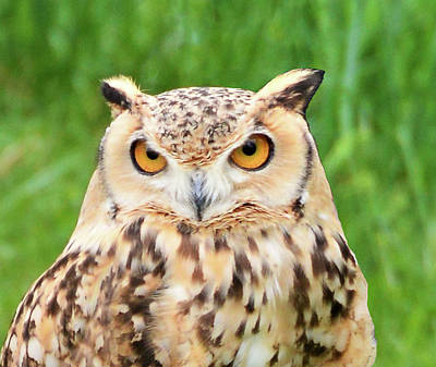 Photograph - Young Horned Owl by Kathy Kelly