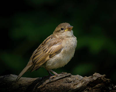 Photograph - Young House Sparrow by Kenneth Cole