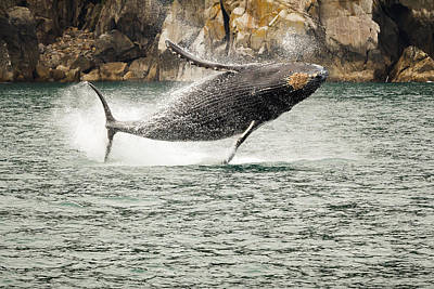 Photograph - Young Humpback Whale Breaching For Fun by Joni Eskridge