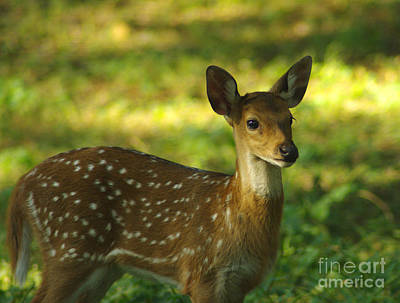 Art Print featuring the photograph Young Indian Spotted Deer by Jacqi Elmslie