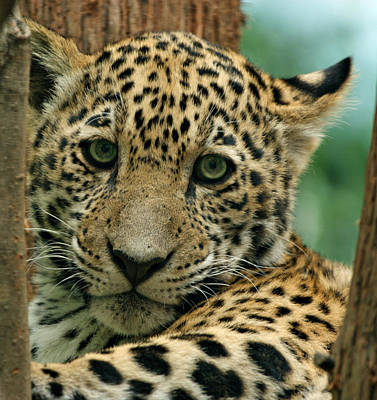 Young Jaguar Art Print by Sandy Keeton