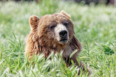 Photograph - Young Kodiak Bear by Wes and Dotty Weber