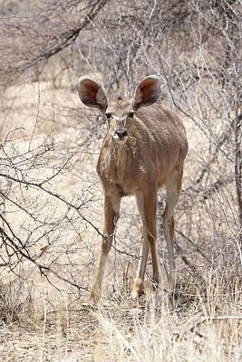 Photograph - Young Kudu by Ernie Echols