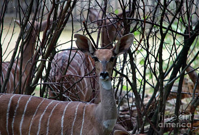 Photograph - Young Kudu by Michelle Meenawong