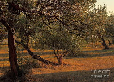 Photograph - Young Life In The Olive Grove by Angela Rath