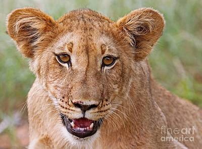 Photograph - Young Lion, Africa Wildlife by Wibke W