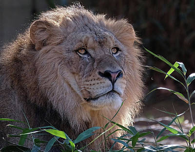 Young Lion King Art Print by Ronda Ryan
