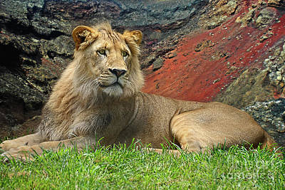 Photograph - Young Lion Portrait By Kaye Menner by Kaye Menner