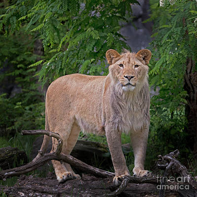 Photograph - Young Lion by Sonya Lang