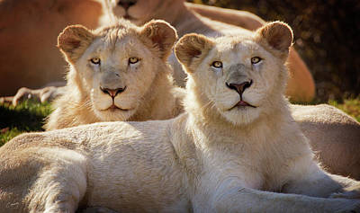 Christina Conway Royalty-Free and Rights-Managed Images - Young Lions by Christina Conway