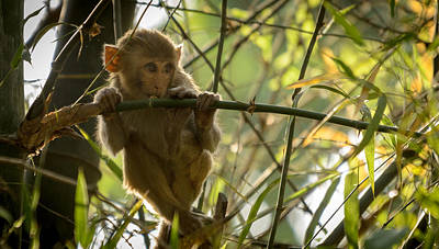 Photograph - Young Macaque by Adrian O Brien