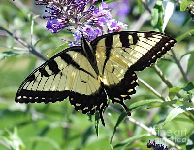 Beaches And Waves Rights Managed Images - Young Male Eastern Tiger Swallowtail Royalty-Free Image by Cindy Treger