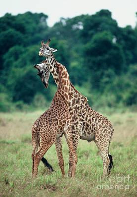 Photograph - Young Male Giraffes Necking by Greg Dimijian