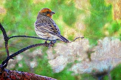 Photograph - Young Male House Finch by Flying Z Photography by Zayne Diamond