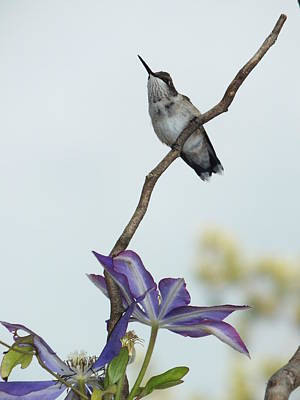 Abstract Airplane Art - Young Male Hummingbird And Clematis by Cindy Treger