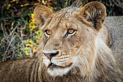 Photograph - Young  Male Lion by Stefan Nielsen