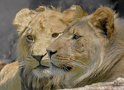 Photograph - Young Male Lions by Wes and Dotty Weber