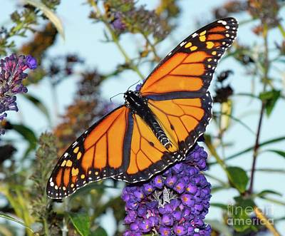 Louis Armstrong - Young Male Monarch - Butterfly Bush by Cindy Treger