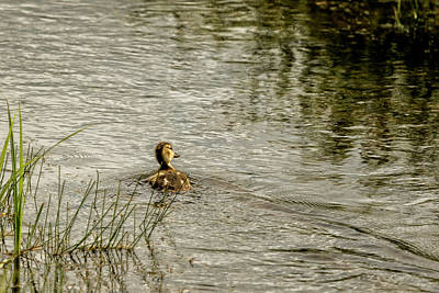 Photograph - Young Mallard by Belinda Greb