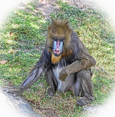 Photograph - Young Mandrill Fade To White Version II by Jim Fitzpatrick