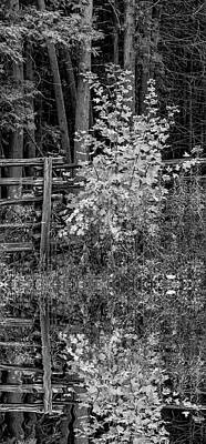 Fence Photograph - Young Maple - Reflection Bw by Steve Harrington