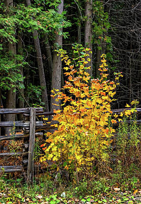 Weed Photograph - Young Maple by Steve Harrington