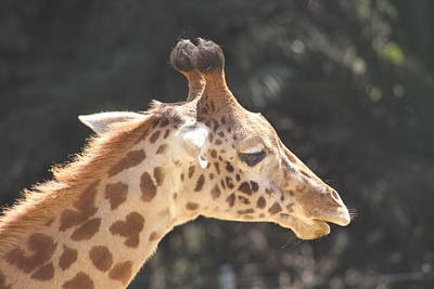 Photograph - Young Masai Giraffe by Diana Chase