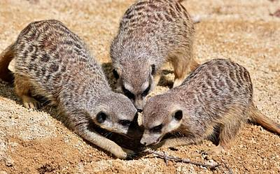 Photograph - Young Meerkats Playing by Werner Lehmann