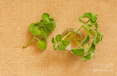 Water Jars Photograph - Young Mexican Mint Seedlings by Arletta Cwalina