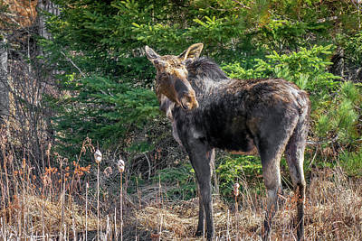 Photograph - Young Moose by Irwin Seidman