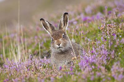 Photograph - Young Mountain Hare In Purple Heather by Karen Van Der Zijden