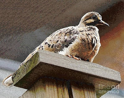 Photograph - Young Mourning Dove by Nina Silver