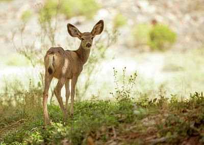 Mule Deer Fawn Photograph - Young Mule Deer Looking Back Into Camera by Susan Schmitz