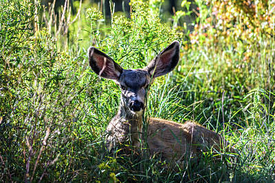 Photograph - Young Mule Deer Resting by Debra Martz