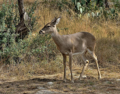 Photograph - Young Mule Deer by Robert Brown