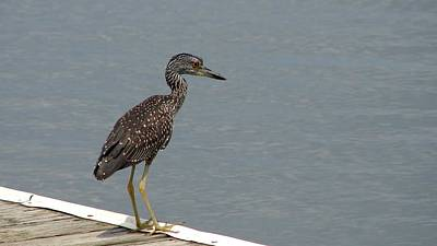 Photograph - Young Night Heron by Bruce W Krucke