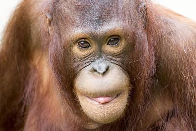 Young Orangutan Portrait Art Print by John McQuiston