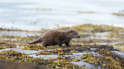 Photograph - Young Otter by Peter Walkden