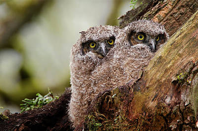 Photograph - Young Owlets by Craig Strand