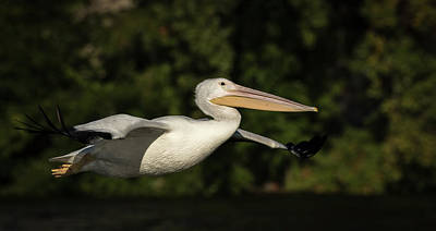 Young Pelican 2016-2 Art Print by Thomas Young