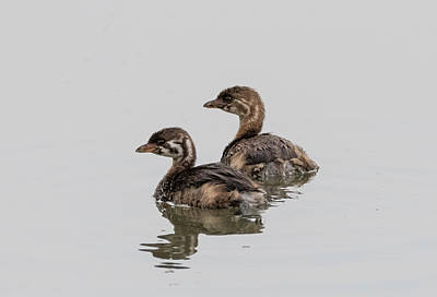 Photograph - Young Pie Billed Grebes by Loree Johnson