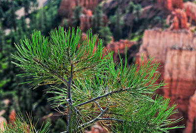 Photograph - Young Pine At Bryce Canyon by Ginger Wakem