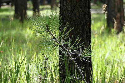 Photograph - Young Pine In The Woods by Laurel Powell