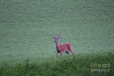 Photograph - Young Pomfret Summer Buck by Neal Eslinger