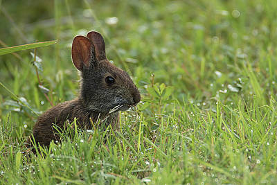 Photograph - Young Rabbit Dining by Richard Goldman