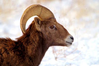 Route 66 - Young Ram  by Jeff Swan