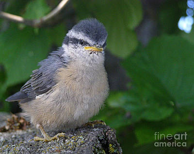 Art Print featuring the photograph Young Red-breasted Nuthatch No. 1 by Angie Rea