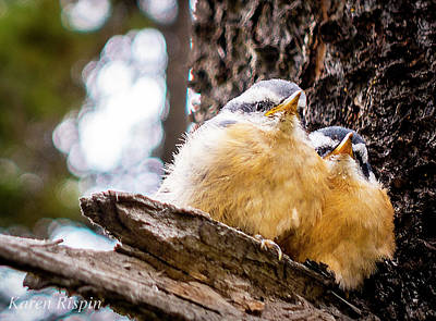 Photograph - Young Red Breasted Nuthatch by Philip Rispin