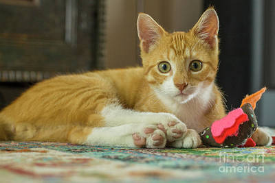 Photograph - Young Red Cat Looking At Camera by Patricia Hofmeester