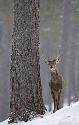 Photograph - Young Red Deer Stag by Peter Walkden